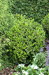 Winter Gem Boxwood (Buxus microphylla 'Winter Gem') at Homestead Gardens