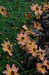 Rum Punch Tickseed (Coreopsis 'Rum Punch') at Homestead Gardens