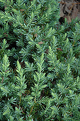 Blue Pacific Shore Juniper (Juniperus conferta 'Blue Pacific') at Homestead Gardens