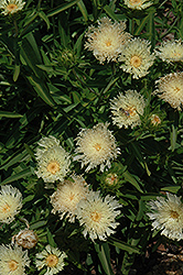 Mary Gregory Aster (Stokesia laevis 'Mary Gregory') at Homestead Gardens