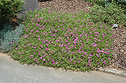 Purple Ice Plant (Delosperma cooperi) at Homestead Gardens