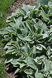 Giant Lamb's Ears (Stachys byzantina 'Big Ears') at Homestead Gardens