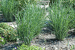 Cloud Nine Switch Grass (Panicum virgatum 'Cloud Nine') at Homestead Gardens