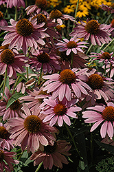 Elton Knight Coneflower (Echinacea purpurea 'Elton Knight') at Homestead Gardens