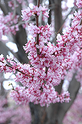 Eastern Redbud (Cercis canadensis) at Homestead Gardens