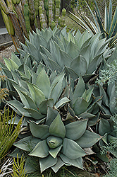 Parry's Agave (Agave parryi) at Homestead Gardens