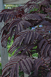 Summer Chocolate Mimosa (Albizia julibrissin 'Summer Chocolate') at Homestead Gardens