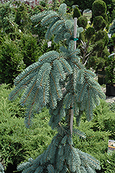 The Blues Colorado Blue Spruce (Picea pungens 'The Blues') at Homestead Gardens