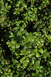 Chesapeake Japanese Holly (Ilex crenata 'Chesapeake') at Homestead Gardens