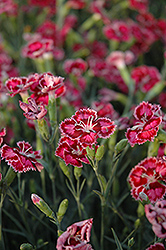 Cranberry Ice Pinks (Dianthus 'Cranberry Ice') at Homestead Gardens