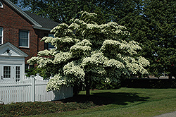 Chinese Dogwood (Cornus kousa) at Homestead Gardens