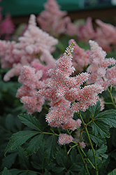 Sister Theresa Astilbe (Astilbe x arendsii 'Sister Theresa') at Homestead Gardens