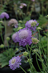 Blue Note Pincushion Flower (Scabiosa 'Blue Note') at Homestead Gardens