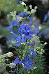Blue Mirror Delphinium (Delphinium grandiflorum 'Blue Mirror') at Homestead Gardens