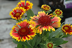 Lucky Wheeler Blanket Flower (Gaillardia x grandiflora 'Lucky Wheeler') at Homestead Gardens