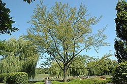 Skyline Honeylocust (Gleditsia triacanthos 'Skycole') at Homestead Gardens