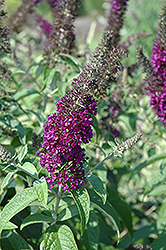 Guinevere Butterfly Bush (Buddleia davidii 'Guinevere') at Homestead Gardens