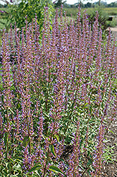Purple Haze Hyssop (Agastache 'Purple Haze') at Homestead Gardens
