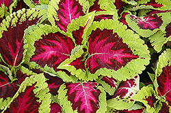 Kong Rose Coleus (Solenostemon scutellarioides 'Kong Rose') at Homestead Gardens