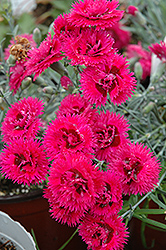 Double Star Starlette Pinks (Dianthus 'Double Star Starlette') at Homestead Gardens