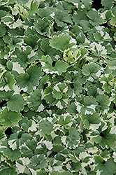Variegated Ground Ivy (Glechoma hederacea 'Variegata') at Homestead Gardens