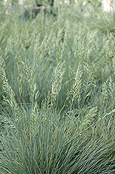 Elijah Blue Fescue (Festuca glauca 'Elijah Blue') at Homestead Gardens