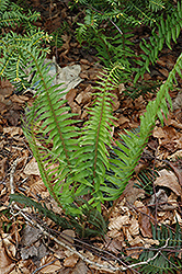 Deer Fern (Blechnum spicant) at Homestead Gardens