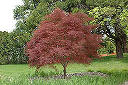 Dwarf Red Pygmy Japanese Maple (Acer palmatum 'Red Pygmy') at Homestead Gardens