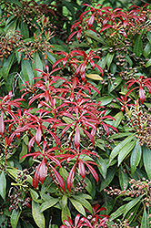 Valley Valentine Japanese Pieris (Pieris japonica 'Valley Valentine') at Homestead Gardens