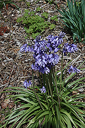 Blue Spanish Bluebell (Hyacinthoides hispanica 'Blue') at Homestead Gardens