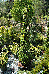 Common Boxwood (spiral) (Buxus sempervirens '(spiral)') at Homestead Gardens