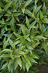 Fragrant Valley Sweet Box (Sarcococca hookeriana 'Sarsid 1') at Homestead Gardens