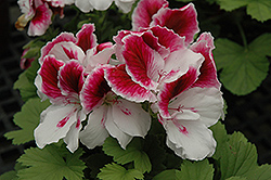 Elegance™ Royalty White Geranium (Pelargonium 'Elegance Royalty White') at Homestead Gardens