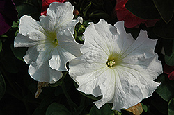 Dreams White Petunia (Petunia 'Dreams White') at Homestead Gardens