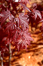 Glowing Embers Japanese Maple (Acer palmatum 'Glowing Embers') at Homestead Gardens