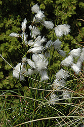 Common Cottongrass (Eriophorum angustifolium) at Homestead Gardens