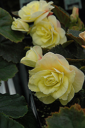 Solenia® Light Yellow Begonia (Begonia 'Solenia Light Yellow') at Homestead Gardens