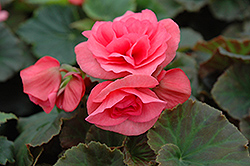 Solenia® Light Pink Begonia (Begonia 'Solenia Light Pink') at Homestead Gardens