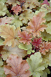 Marmalade Coral Bells (Heuchera 'Marmalade') at Homestead Gardens