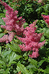 Younique Cerise™ Astilbe (Astilbe 'Verscerise') at Homestead Gardens
