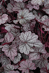 Sugar Plum Coral Bells (Heuchera 'Sugar Plum') at Homestead Gardens