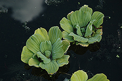 Water Lettuce (Pistia stratiotes) at Homestead Gardens