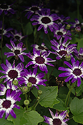 Senetti® Blue Bicolor Pericallis (Pericallis 'Senetti Blue Bicolor') at Homestead Gardens