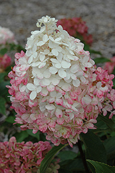Vanilla Strawberry™ Hydrangea (Hydrangea paniculata 'Renhy') at Homestead Gardens