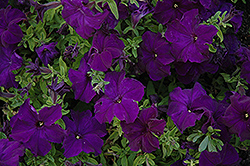 Dreams Midnight Petunia (Petunia 'Dreams Midnight') at Homestead Gardens
