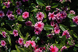 Cora® Strawberry Vinca (Catharanthus roseus 'Cora Strawberry') at Homestead Gardens