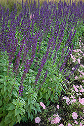 Mystic Spires Blue Sage (Salvia 'Balsalmisp') at Homestead Gardens