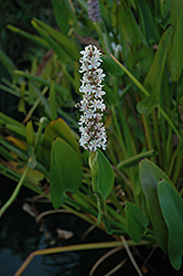 White Pickerelweed (Pontederia cordata 'Alba') at Homestead Gardens