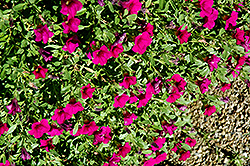 Noa Dark Purple Calibrachoa (Calibrachoa 'Noa Dark Purple') at Homestead Gardens