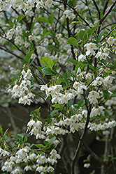 Japanese Snowbell (Styrax japonicus) at Homestead Gardens